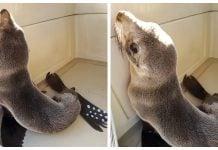 rescate-lobo-marino-costa-vicente-lopez