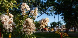 crespon-arbol-flor-san-fernando