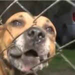 perro-pitbull-ataco-ladron-malvinas-argentinas