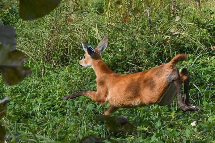 liberan ciervo pantanos delta san fernando